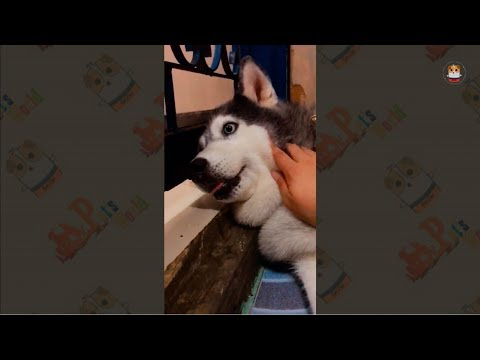 Funny Husky Compilations 2017 # 21