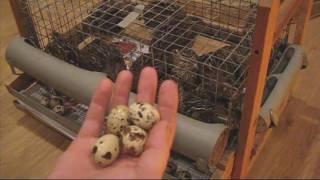 Как повысить яйценоскость перепелов(Зачем держать и кормить птицу, которая не несёт яйца. При низкой яйценоскости вы недополучаете перепелиные..., 2016-07-22T14:16:12.000Z)