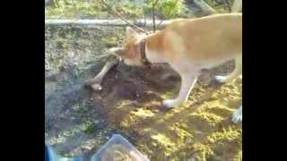 Собака носом зарывает кость)