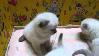 Шотландские котята , колорного окраса. 3недели