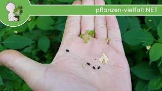 Kleines Springkraut - Früchte/Samen - 05.07.18 (Impatiens parviflora) - Essbare Wildkräuter