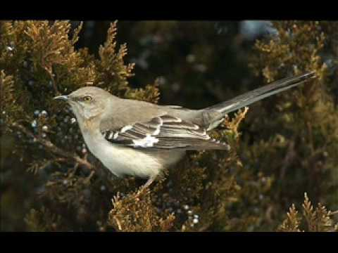 Mockingbird Song Serenade