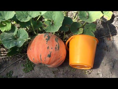 Самый хитрый и легкий способ выращивания тыквы