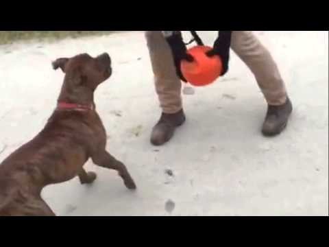 Dog Fetches Kong Jumbler Ball