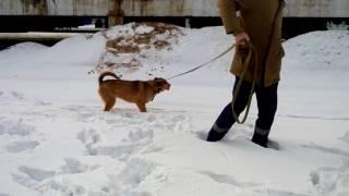 Собака в дар. Метис шарпея Инга