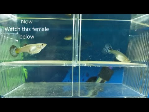 How To Breed Guppies -  Different Methods For Breeding Guppies, Mollies And Other Livebearers