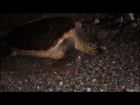 Tartaruga risale la spiaggia di Massa Lubrense nell'Amp di Punta Campanella