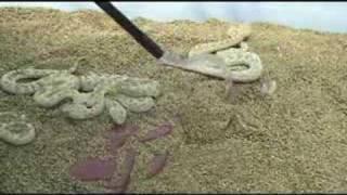 Sahara Sand Vipers (Cerastes vipera)