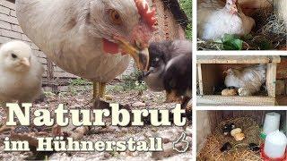 Naturbrut im Hühnerstall    Gartentipp Juli 0704