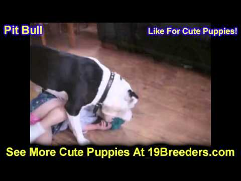 Pit Bull, Puppies, For, Sale, In, Springfield, Missouri, MO, St  Charles, St  Joseph, O'Fallon, Lee'
