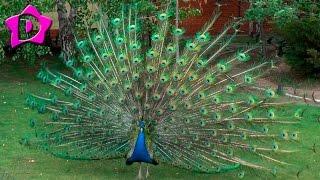 Жар птица павлин распускает свой хвост peacock