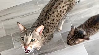 Savannah Cats Meow Loud For My Chicken #cats #cute