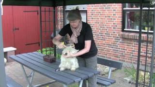 Westie Grooming (fur Cleaning) Two Times A Week