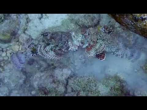 Scorpionfish Fight