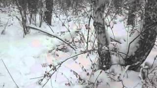 Охота с русской гончей на зайца
