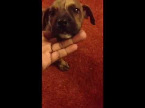 Repeat Brindle gator razor debo pitbull puppy by kimani