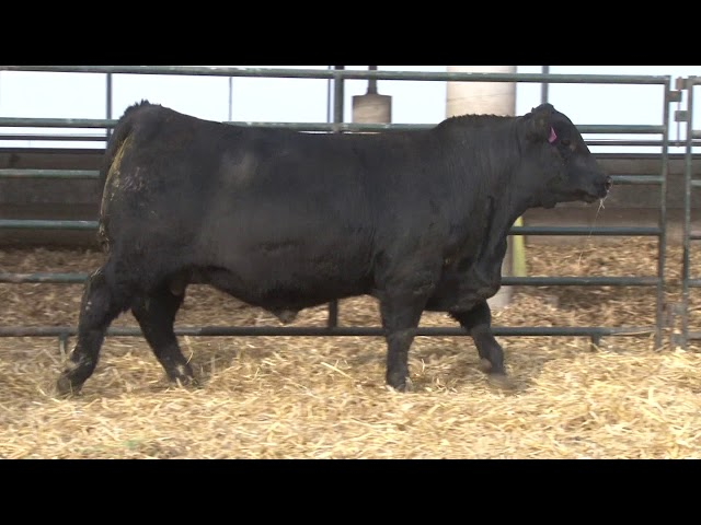 Schiefelbein Angus Farms Lot 49