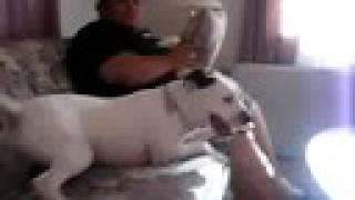 Playful Dalmation/pitbull Mix