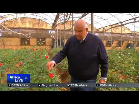 Egyptian flower producers cash in on Valentine's Day fever