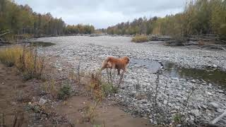 Ретривер Голд ..американец.. 2017 .осень Магадан