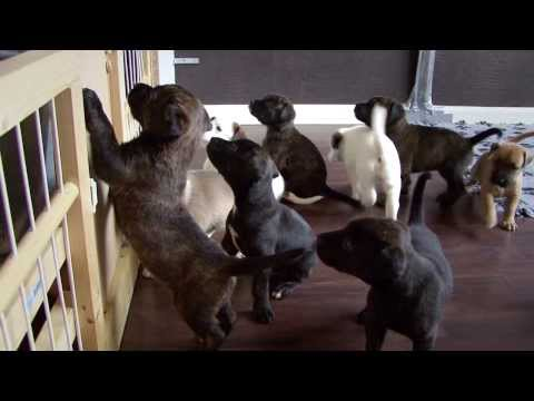 FUNNY! waking up 12 american stafford puppy's