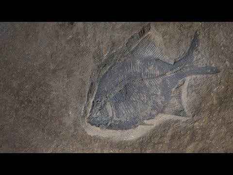 Fossil Fish From The Late Cretaceous Of Alberta