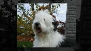 How To Train Old English Sheepdog