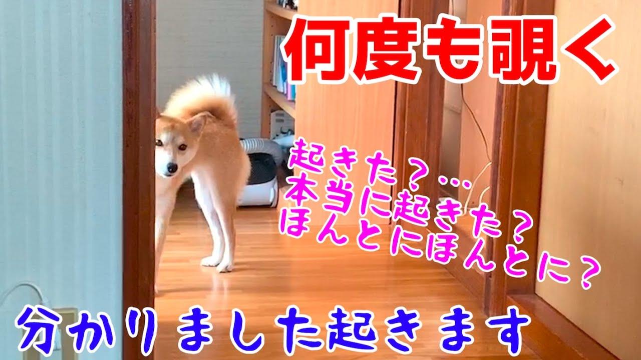 飼い主が本当に起きたか何度も何度も確認する柴犬ハナ shiba inu