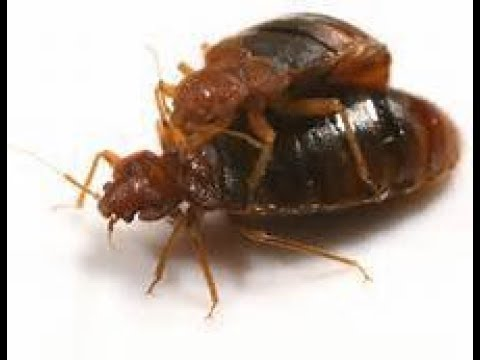 Shocking Video How Bed Bugs Reproduce Youtube