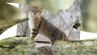 26  великолепных  кошек, исчезающих  из   дикой  природы (часть2)