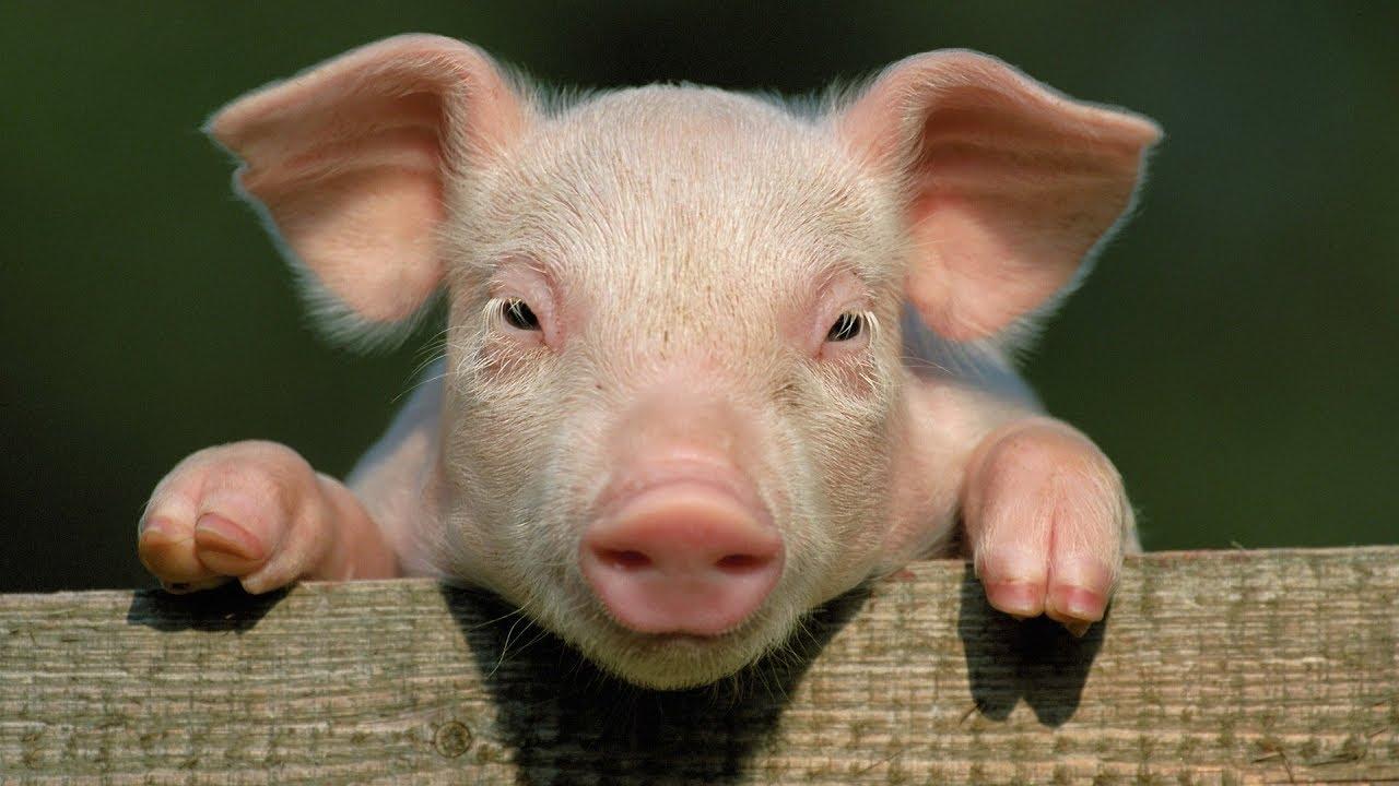 Свиноводство | Разведение свиней как бизнес идея | Открыть свиноводческое хозяйство