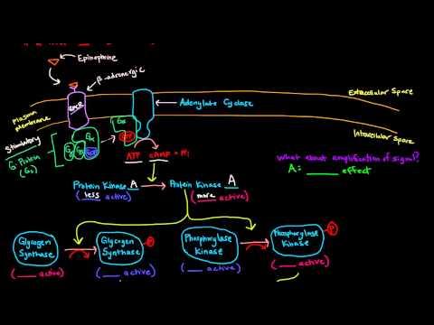 Epinephrine Signaling Cascade - GPCR (G-Protein Coupled Receptor)