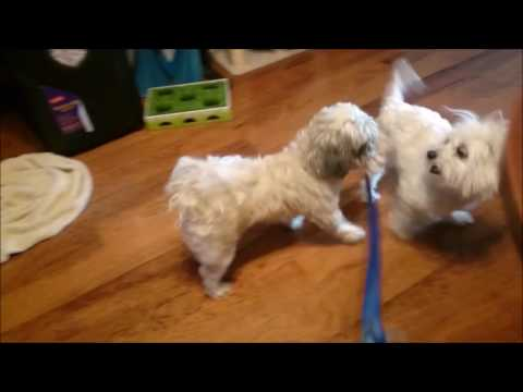Abandoned Shih Tzu finds new home with a Coton de Tulear