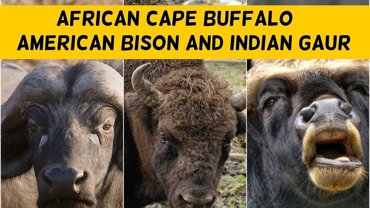cape buffalo bison and indian gaur facts youtube. Black Bedroom Furniture Sets. Home Design Ideas