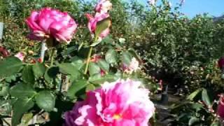 Rose Yves Piaget Hybrid Tea Rose