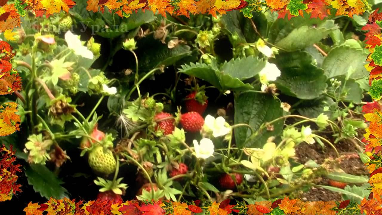Цветущие многолетники Черный список  Сады СевероЗапада