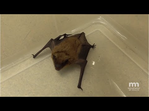How to Safely Capture a Bat