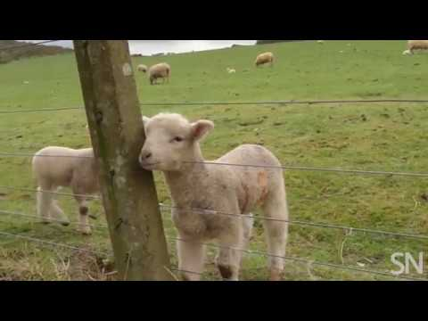 Sheep can recognize a human face | Science News