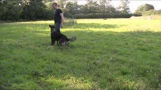 Residential Dog Training - German Shepherd - Dasty