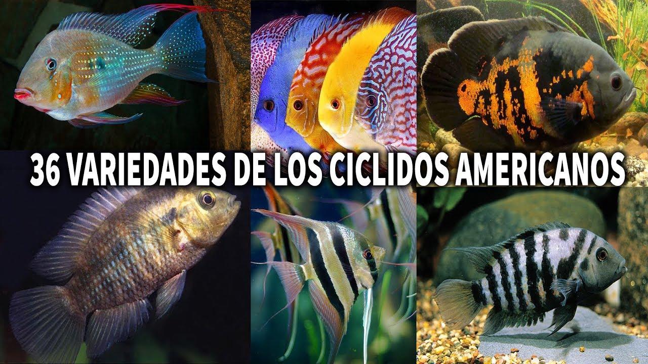 Las 36 variedades de los c clidos americanos acuarioslp for Variedad de peces