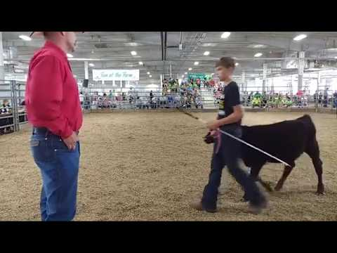2019 Lancaster County Super Fair - 4-H Bucket Calf Show