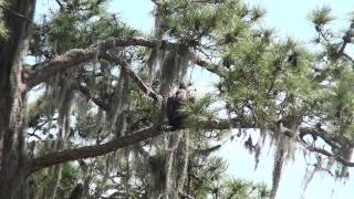 SWFL Eagles_ Itty-Bitty Birds Bombard Big Bird E4 (Fledge Day)_4-4-14