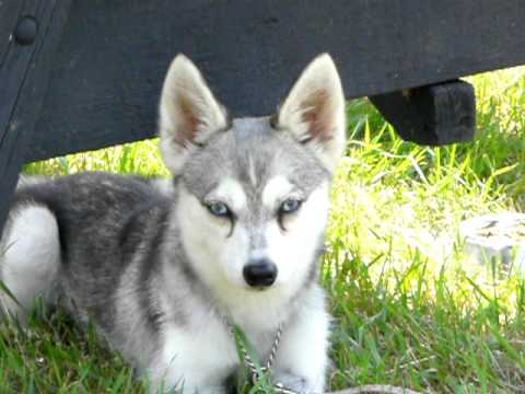 Bien-aimé Miniature Husky Rare Breed - YouTube AM73