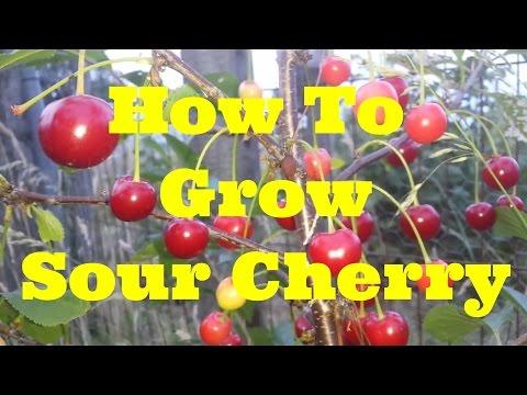 How To Grow Morello Sour Cherry | The Movie