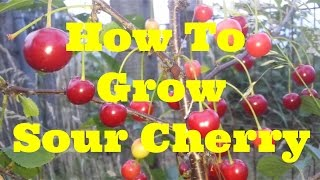 How To Grow Morello Sour Cherry | The Movie