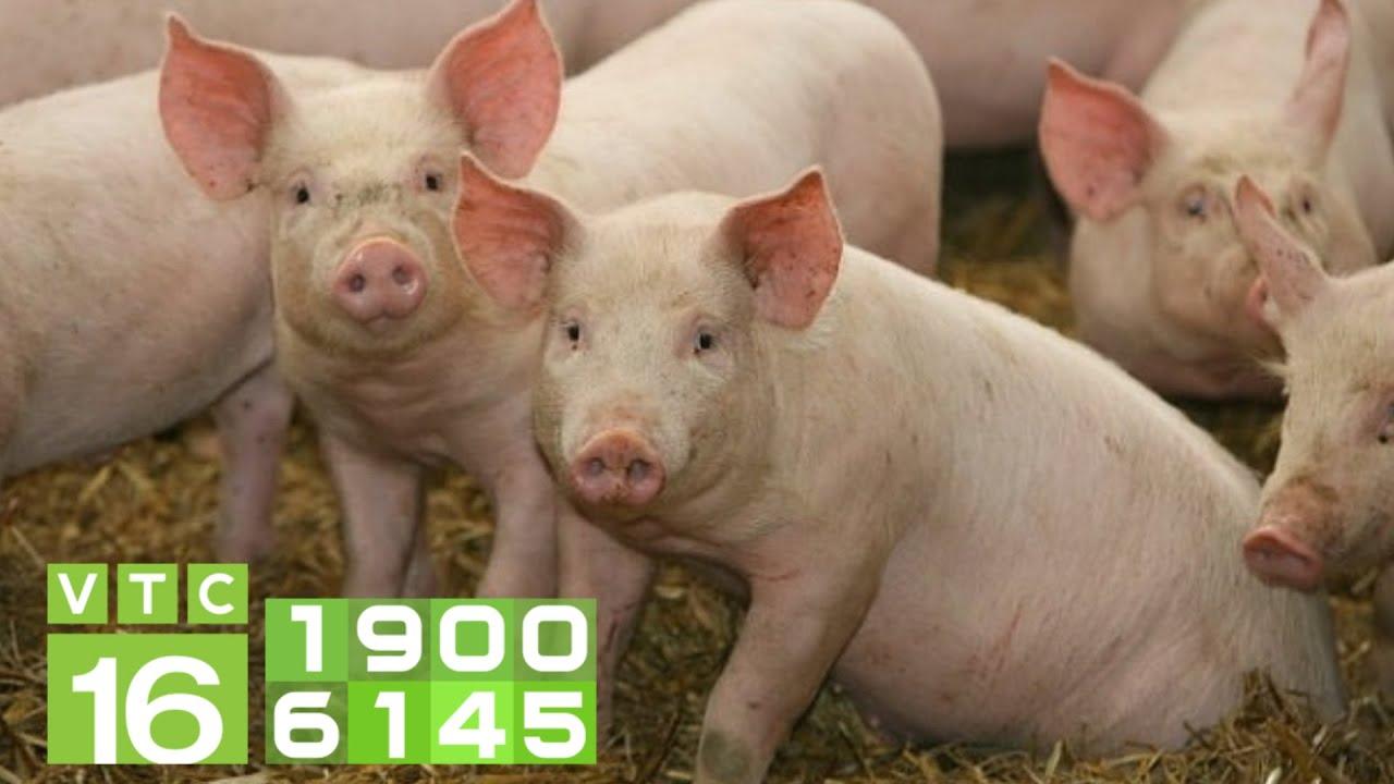 Khủng hoảng nuôi lợn, giá trên trời: Là do ai? (Phần 3) | VTC16
