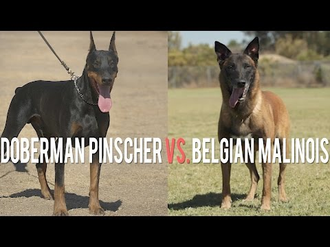 DOBERMAN PINSCHER VS. BELGIAN MALINOIS: BATTLE OF PROTECTION DOGS