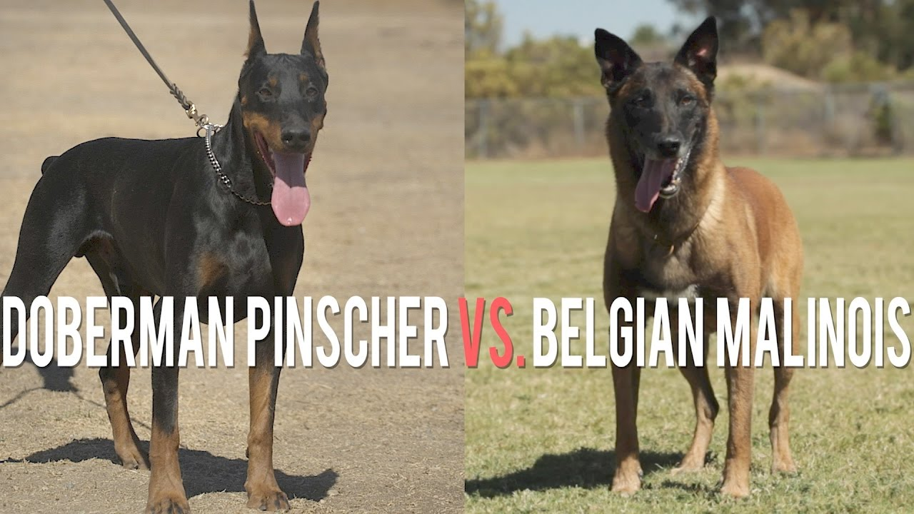 Belgian Malinois The Shepherd With A Pit Bull S Spirit Youtube