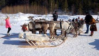 Так вот они какие - северные олени. Ханты-Мансийск