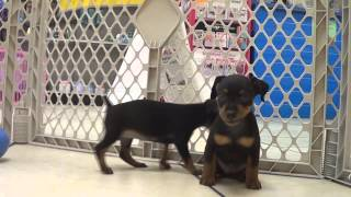 Miniature Pinscher, Puppies, For, Sale, In, Columbia, Maryland, Md, Perry Hall, Pikesville, College
